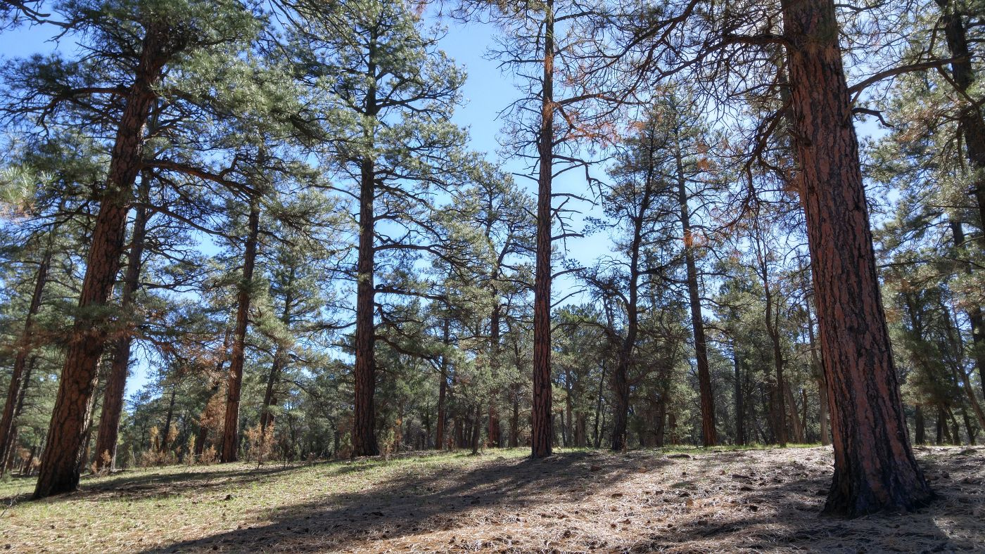 ponderosa forest