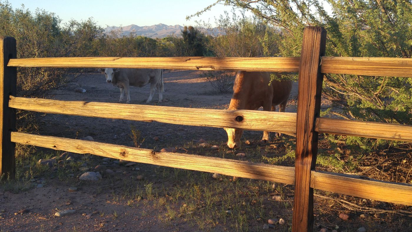 cattle fort mcdowell