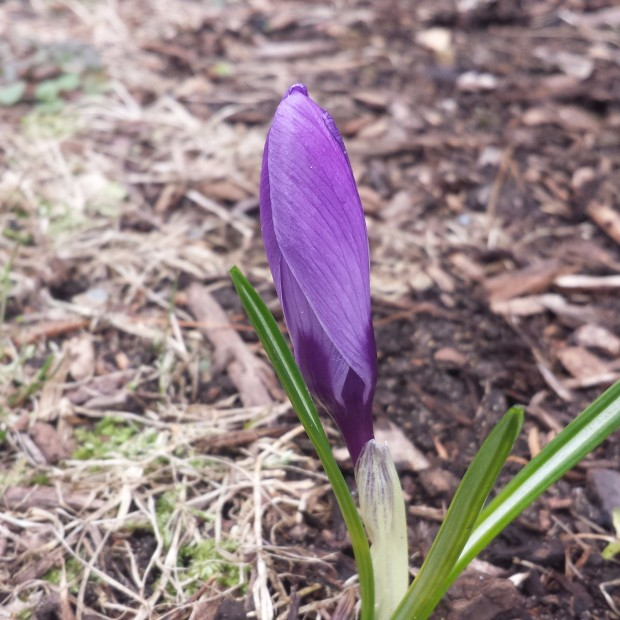 It is always a delight to find the first crocus of spring.