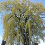 Willow Tree Manistee MI