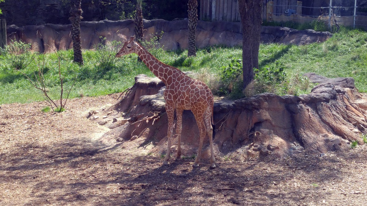 New Giraffe at the San Antonio Zoo.