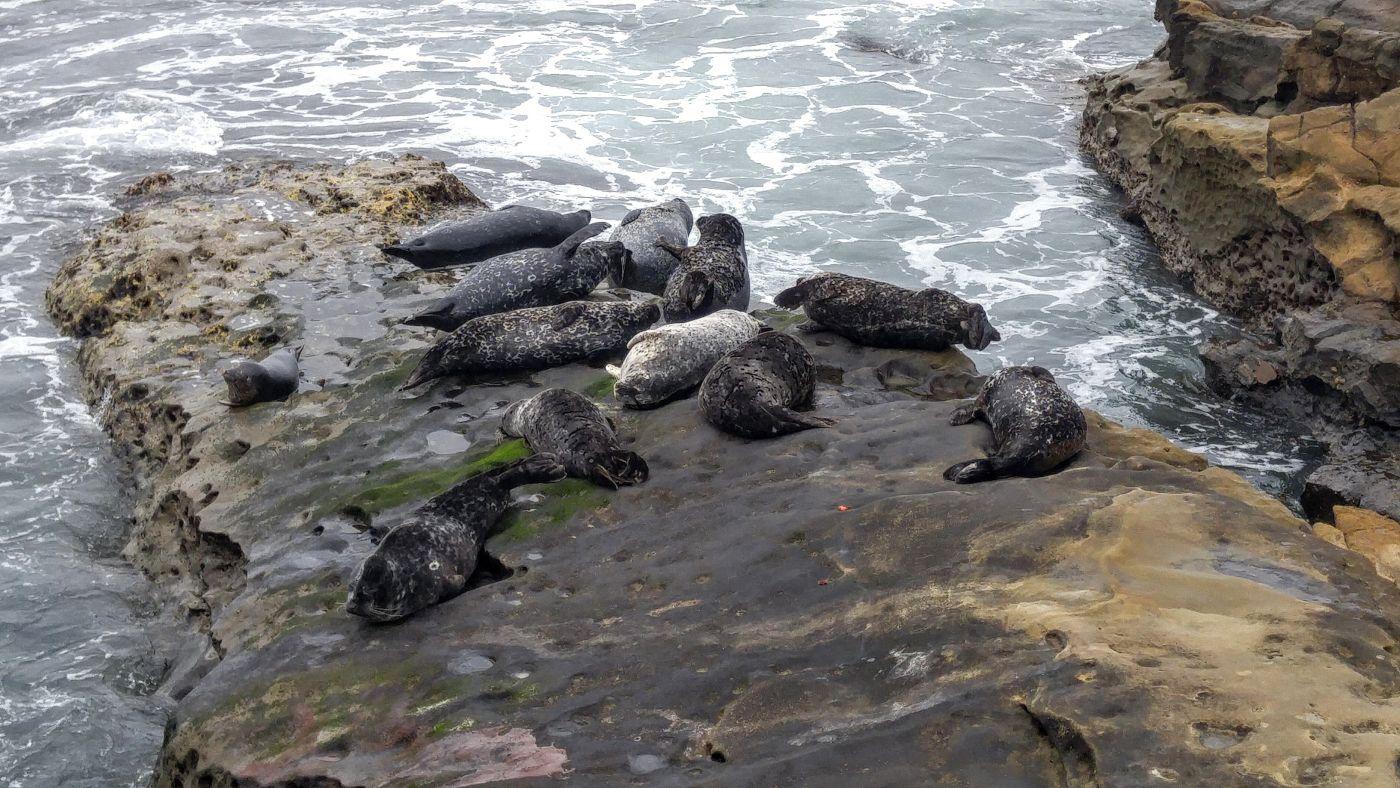 basking sea lions rock