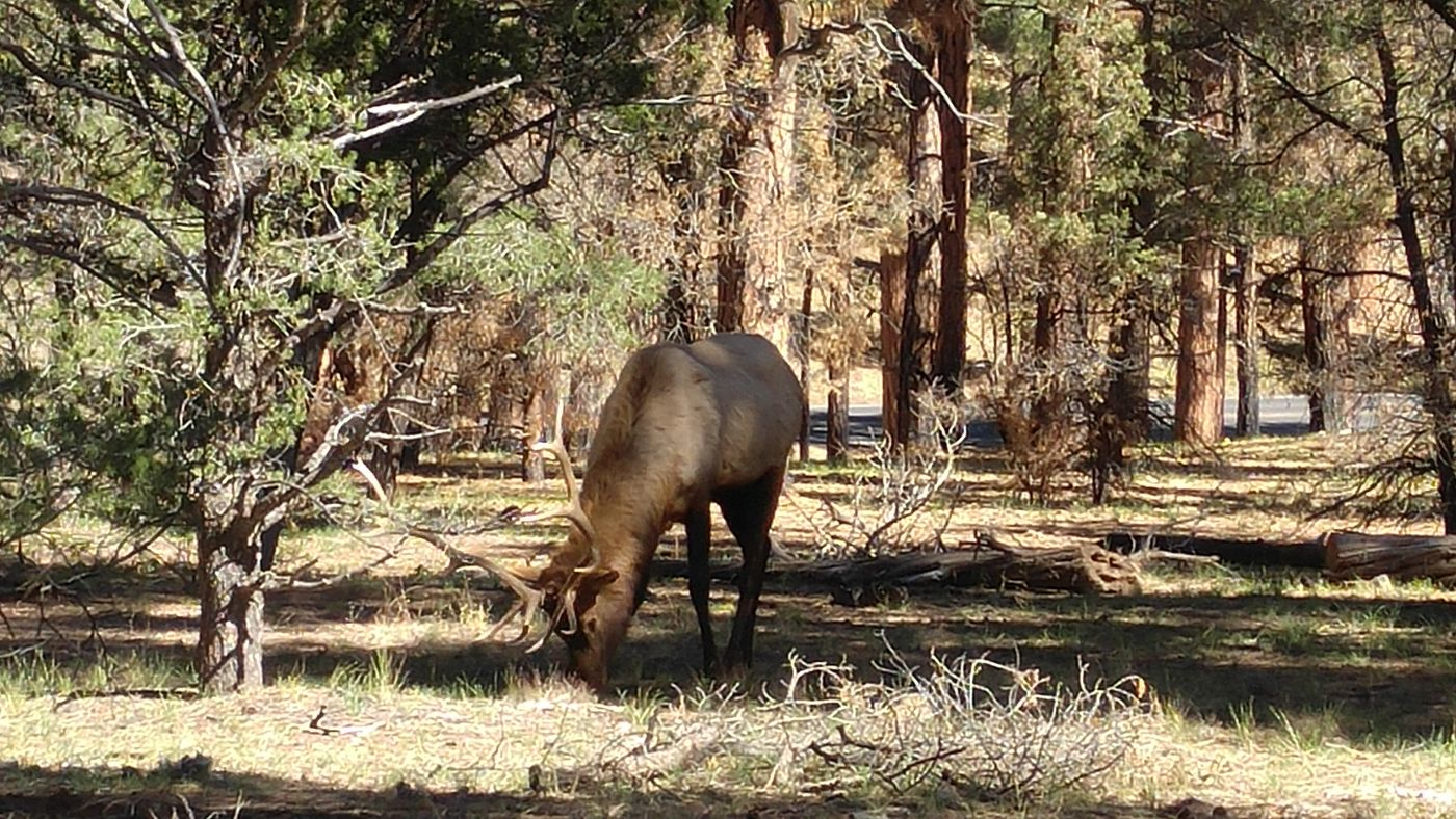 Elk Grand Canyon
