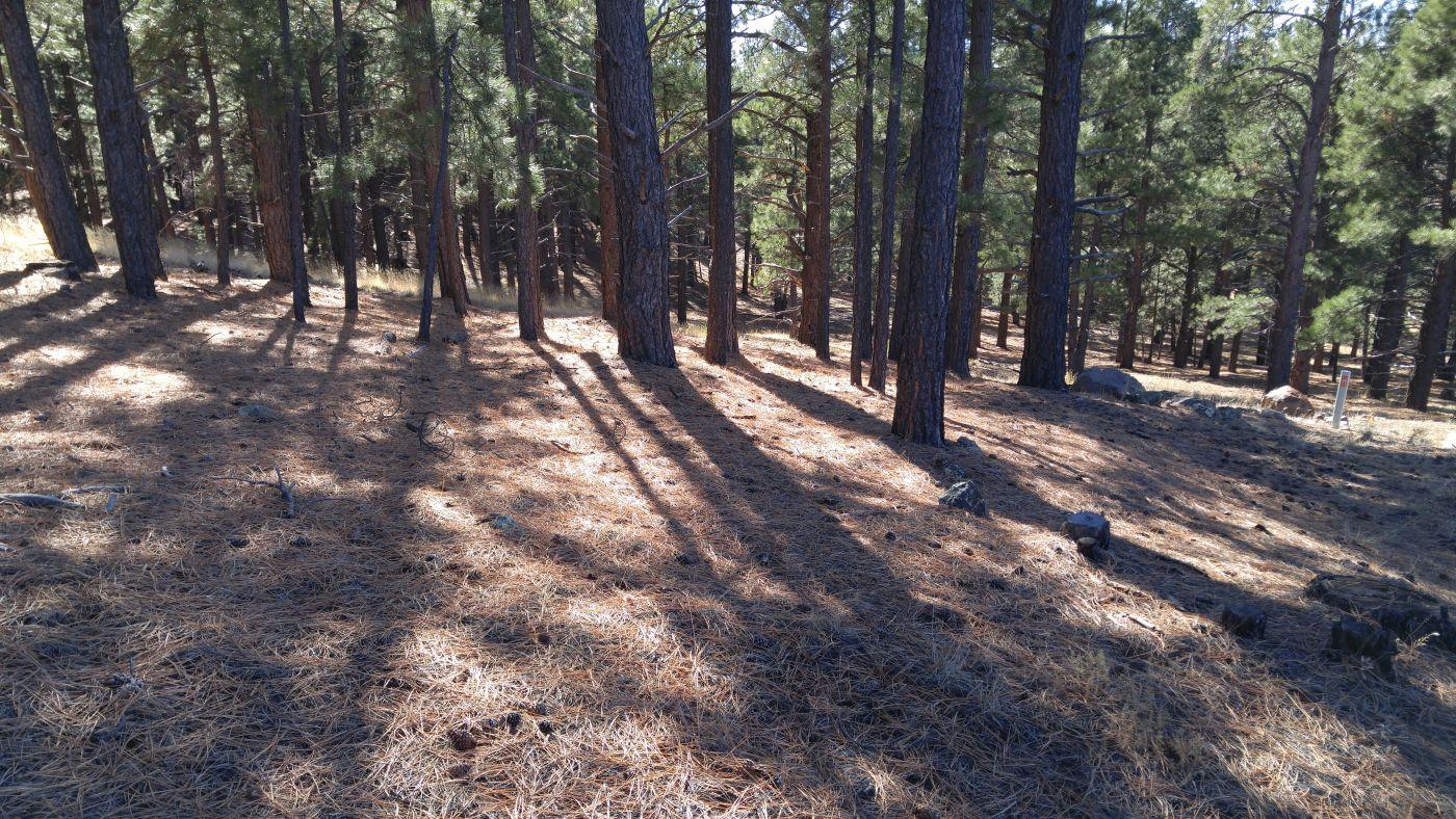 ponderosa pine shadows