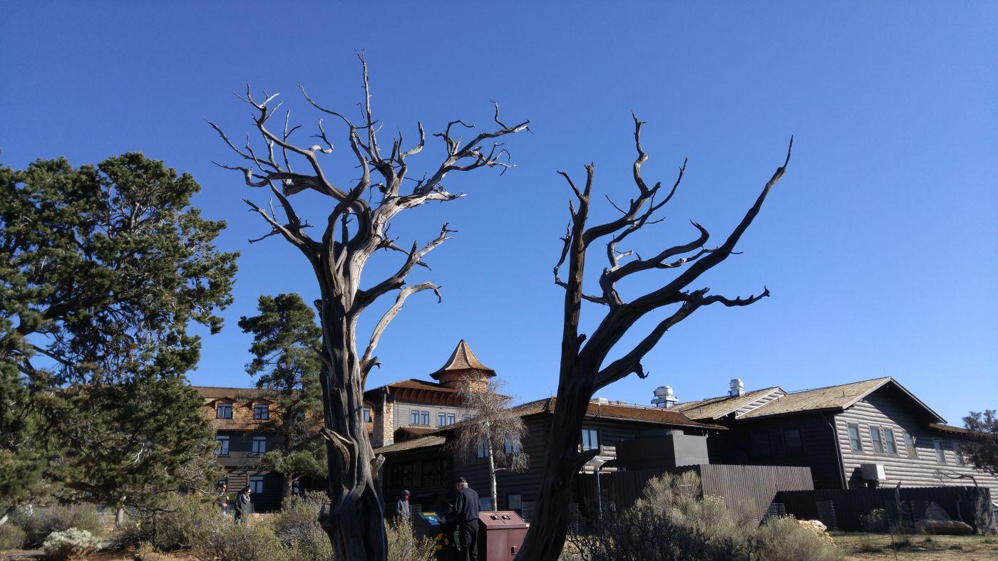 El Tovar dead tree
